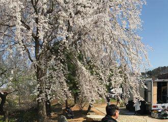 [分享]180419 刷新可爱新高度!捉到一只樱花树下乘凉的小可爱