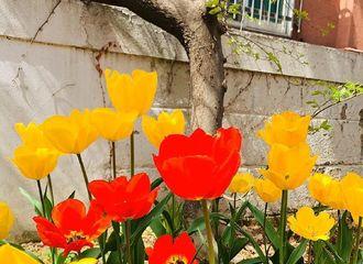 [分享]190415 花坛里的郁金香盛开了!89MANSION也迎来了美丽的春天