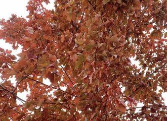 [TFBOYS][新闻]191130 王源绿洲更新晒枫叶,寒冬里送你一片火红温暖